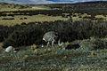 Rhea pennata, Torres del Paine 1.jpg