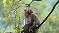Rhesus Macaque resting on a tree in Boxistho, Guwahati.jpg