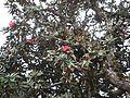 Rhododendron arboreum subsp. nilagiricum (6370031107).jpg