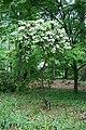 Rhododendron fortunei.jpg