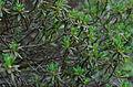 Rhododendron nivale subsp. boreale ÖBG 2012-05-20 03.jpg