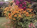 Rhododendrons in Kenwood Gardens.jpg