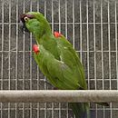 A green parrot with a maroon forehead