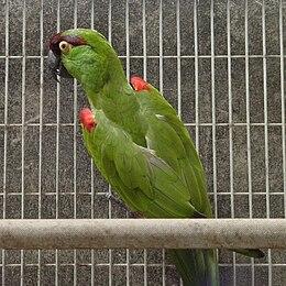 Rhynchopsitta terrisi -captive-8a