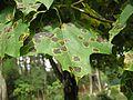 Rhytisma acerinum brok 3 beentree.jpg