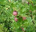 Ribes uva-crispa6 ies.jpg