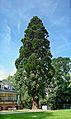 Riesenmammutbaum Meerholz.jpg