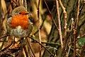 Robin - RSPB Minsmere (16418060384).jpg