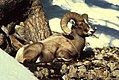 Rocky mountain bighorn sheep ram male buck animal.jpg
