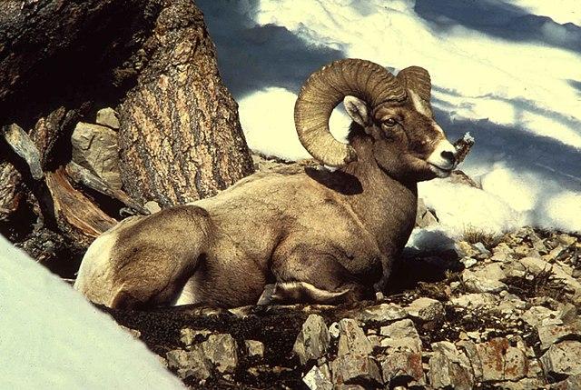 640px-Rocky_mountain_bighorn_sheep_ram_m