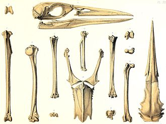 Rodrigues night heron - Skull and other elements