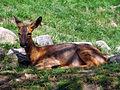 Roe deer chevreuil pyrenees.jpg