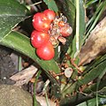 Rohdea japonica (fruits s2).jpg