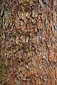 Rombergpark-100330-11349-Daviaceae.jpg