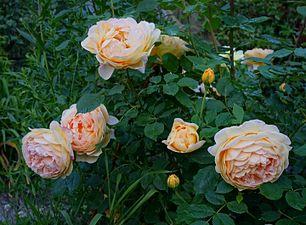 Rosa 'Golden Celebration'.jpg