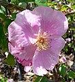 Rosa Anemone 2.jpg