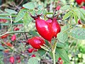 Rosa sicula hortus leiden.jpg