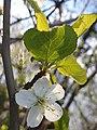 Rosales - Prunus cerasus - 19.jpg