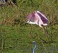 Roseate Spoonbill (Platalea ajaja) immature taking off.jpg