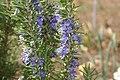 Rosmarinus officinalis 10zz.jpg