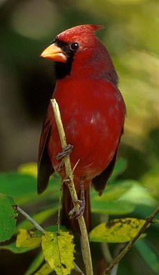 Rotkardinal ♂ (Cardinalis cardinalis)
