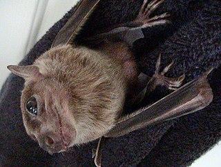 Egyptian fruit bat species of mammal