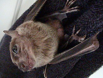 Rousettus - Egyptian rousette or Egyptian fruit bat, Rousettus aegypticus