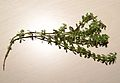 Rubiaceae-230216-1.jpg