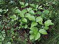 Rubus saxatilis Kiiminki, Finland 16.06.2013.jpg