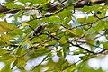Ruby-throated hummingbird (35323911544).jpg