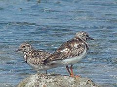 Ruddy turnstones.jpg