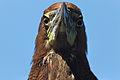 Rufescent Tiger-Heron - Pájaro Vaco (Tigrisoma lineatum lineatum) (15520342158).jpg