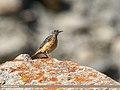 Rufous-tailed Rock-thrush (Monticola saxitilis) (39050835864).jpg