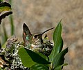 Rufous hummingbird (6845388464).jpg