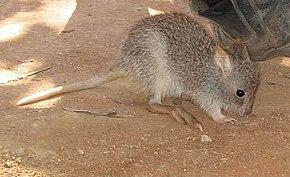 rat kangourou nez court wikip dia. Black Bedroom Furniture Sets. Home Design Ideas