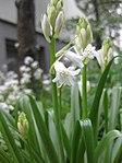 Ruhland, Grenzstr. 3, Spanisches Hasenglöckchen, weiß blühend, Knospen öffnend, Frühling, 02.jpg
