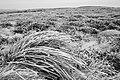 Rush Grass in Heather Moorland, Urra Moor - geograph.org.uk - 634810.jpg