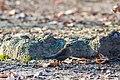 Rusty blackbird (female) (19328950292).jpg
