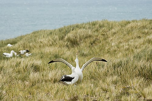 Wandering albatross male courting a female with sky-pointing, clucking, and wing-spreading rituals.