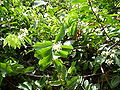 Saba senegalensis 0006.jpg