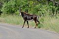Sable (Hippotragus niger) female crossing the road ... (17255723215).jpg