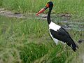 Saddle-billed Stork (Epphippiorhynchus senegalensis) female (6041057621).jpg