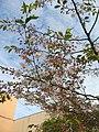 Saint Petersburg. Chinese Garden. Sakura tree2015 04.jpg