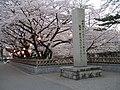Sakura - panoramio - Tomi Mäkitalo.jpg