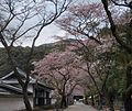 Sakura in Akizuki Apr2014 01.jpg
