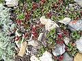 Salix rotundifolia-MW0158296-live.jpg