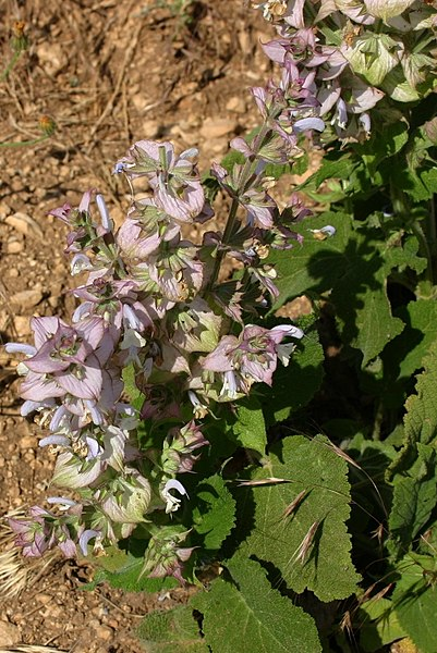 Clary Sage (Salvia sclarea): Flowering as a weed in a field of Lavender.