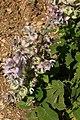 Salvia-sclarea-Sault.jpg