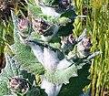 Salvia aethiopis-5.jpg