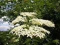 Sambucus nigra 3c.JPG